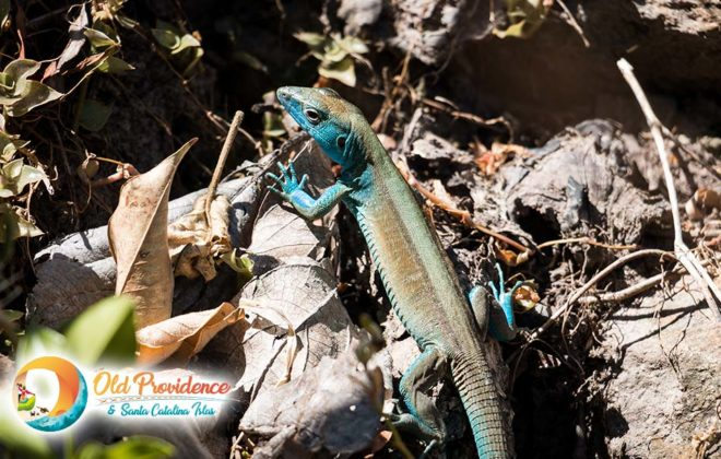 foto-blue-lizard-3-old-providence-the-peak