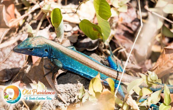 foto-blue-lizard-4-old-providence