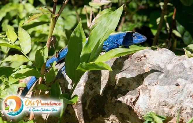 foto-blue-lizard-old-providence